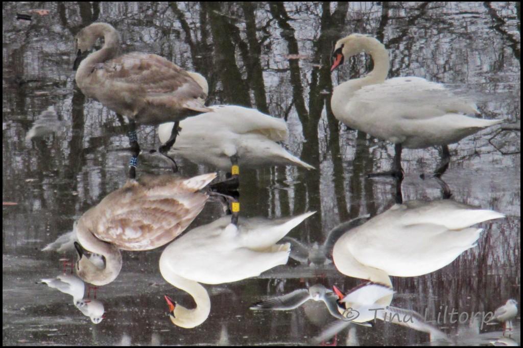 Swans1-1024x682
